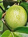 Passiflora edulis (Grenadille jaune).jpg
