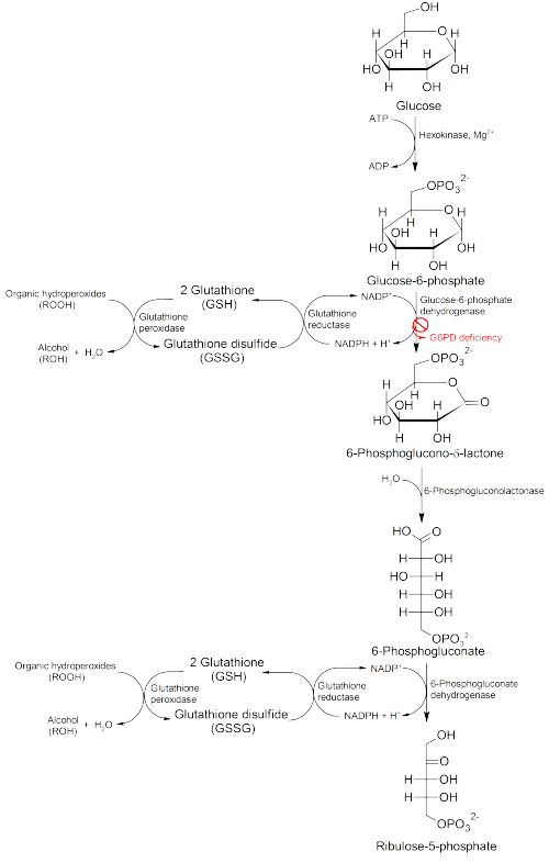 Pathology of G6PD deficiency.png
