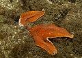 Patiria miniata (14897213237).jpg