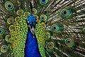 Peacock portrait. (8316435538).jpg