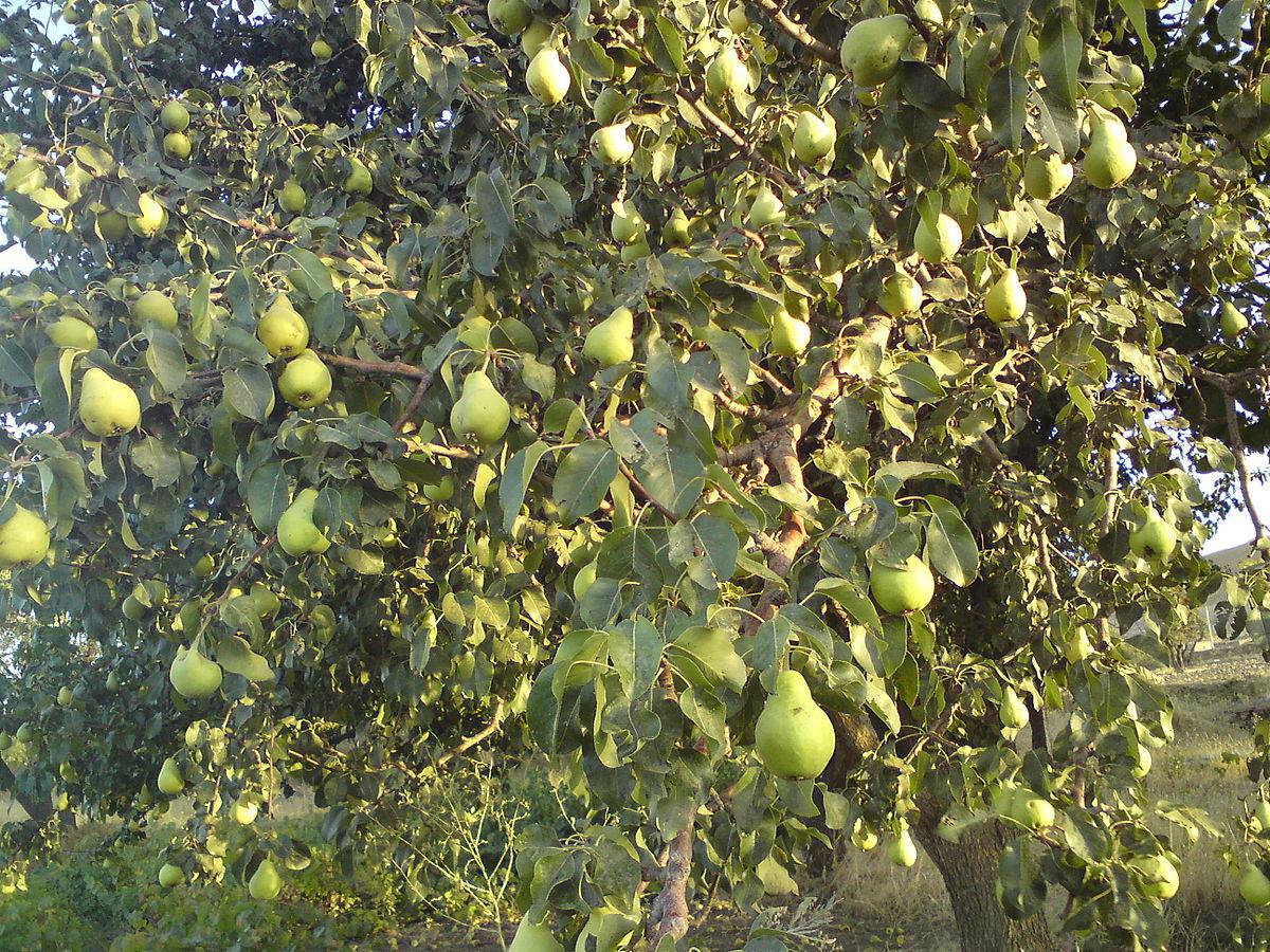Nie kupuj owoców w sklepie! 8 drzew owocowych, które możesz wyhodować samodzielnie