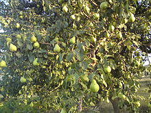 220px-Pear_tree_in_Hamedan_Iran Fruit Trees - Pear Trees - Pyrus