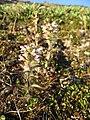 Pedicularis hirsuta upernavik 2007-07-07 1.jpg