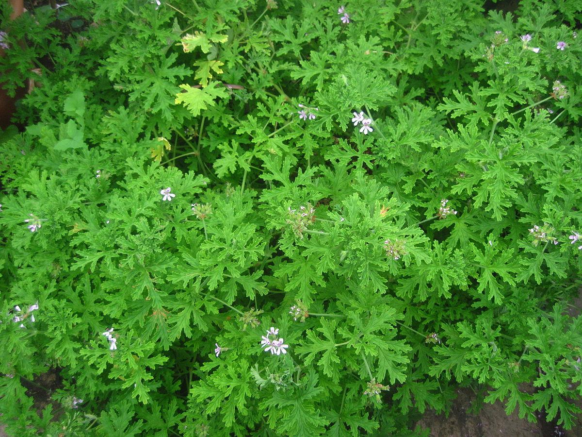 Pelargonium 'Mint Rose'.JPG