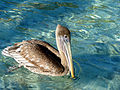 Pelican at Marina Cay.jpg