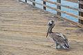 Pelican at Oceanside Pier.jpg