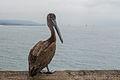 Pelican on Balboa Pier.jpg