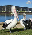 Pelicans at Brooklyn, NSW.jpg