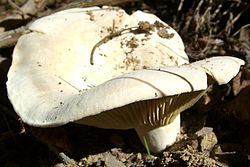 Peppery White Milky Cap.jpg