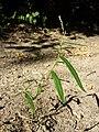 Persicaria minor sl4.jpg