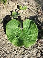 Petasites hybridus sl17.jpg