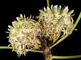 <i>Petrophile glauca</i> Species of shrub endemic to Western Australia