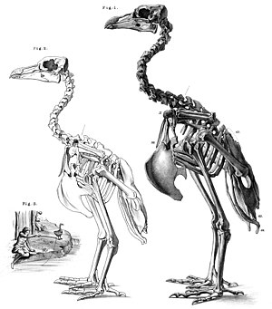 Rodrigues solitaire - Skeletons of female and male, 1879