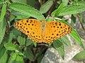 Phalanta phalantha Drury, 1773 – Common Leopard at Perumpady 2018 (42).jpg
