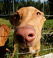 Pharaoh Hound nose.JPG