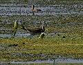 Pheasant-tailed Jacana (Hydrophasianus chirurgus) in Kolleru, AP W IMG 3871.jpg