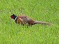 Pheasant (Phasianus colchicus) - geograph.org.uk - 1207833.jpg