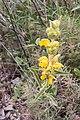 Phlomis lychnitis-Phlomis lychnite-20160623.jpg