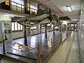 Physeter macrocephalus (Capodoglio, Sperm Whale), museo di Bologna.JPG