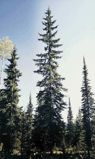 Picea engelmannii - Image: Picea engelmannii