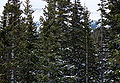 Picea engelmannii Copper Mountain.jpg