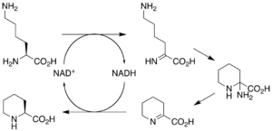 Sirolimus - Figure 4: Proposed mechanism of lysine cyclodeaminase conversion of L-lysine to L-pipecolic acid