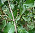 Picture1 Strychnos colubrina L. plant morphology.jpg