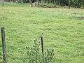Pied Wagtail (Motacilla alba) - geograph.org.uk - 879972.jpg