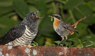 Red-chested cuckoo - A juvenile bird being fed by a Cape robin-chat host