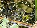Pig Frog in Corkscrew Wildlife Sanctuary (31843768133).jpg