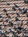 Pigeons on a roof 20130527 0456.JPG