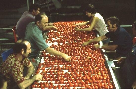 PikiWiki Israel 7478 Gan-Samuel - sorting tomatoes at the factory in 1