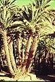 PikiWiki Israel 75855 sudanese palm.jpg