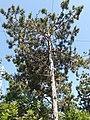 Pinales - Pinus nigra - 4.jpg