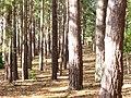 Pine Woods by Sandy Lane - geograph.org.uk - 1011306.jpg