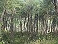Pine trees from Dharamshala.JPG