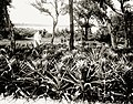 Pineapples growing near Tampa (8740280977).jpg