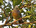 Pink-necked Green-Pigeon (Treron vernans) male - Flickr - Lip Kee (2).jpg