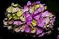 Pink Hydrangea (common names hydrangea or hortensia).jpg