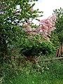 Pink Tree at Gillhams - geograph.org.uk - 177329.jpg