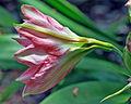 Pink trumpet (8680406640).jpg