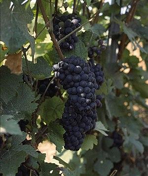 Pinot Meunier - Pinot Meunier grapes in Champagne