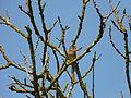 Pinson des arbres Montagnac-sur-Auvignon (1).JPG