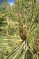 Pinus densiflora 'Oculus-Draconis' - Morris Arboretum - DSC00519.JPG