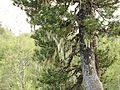 Pinus heldreichii Orjen Bijela gora Montenegro.JPG
