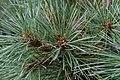 Pinus strobus Nana 2zz.jpg