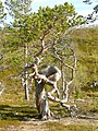 Pinus sylvestris - Furu Stabbursdalen.jpg