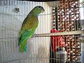 Pionus maximiliani -captive-8a.jpg