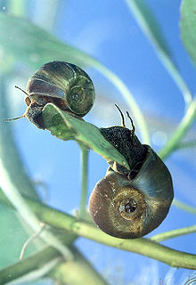 two snails crawling on submerged vegetation