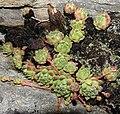 Plant in Zermatt.jpg